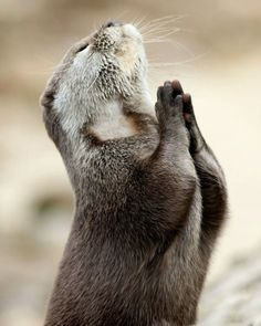 Otter Praying by Pinterest