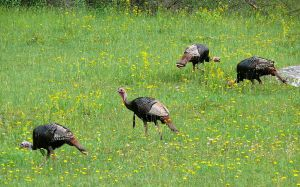 Wild Turkey males by Ken Thomas Wikimedia Public Domain